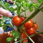 その後の家庭菜園