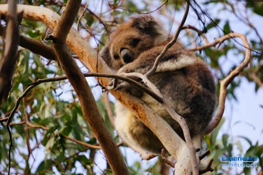 真近に見るコアラ